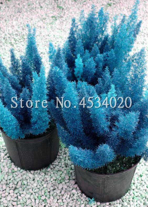 100 Pcs หายาก Foxtail Fern Bonsai, หายาก Bambu สีฟ้าฤดูหนาวสมุนไพรพืชบอนไซประดับปลูกบ้าน & สวนพืช