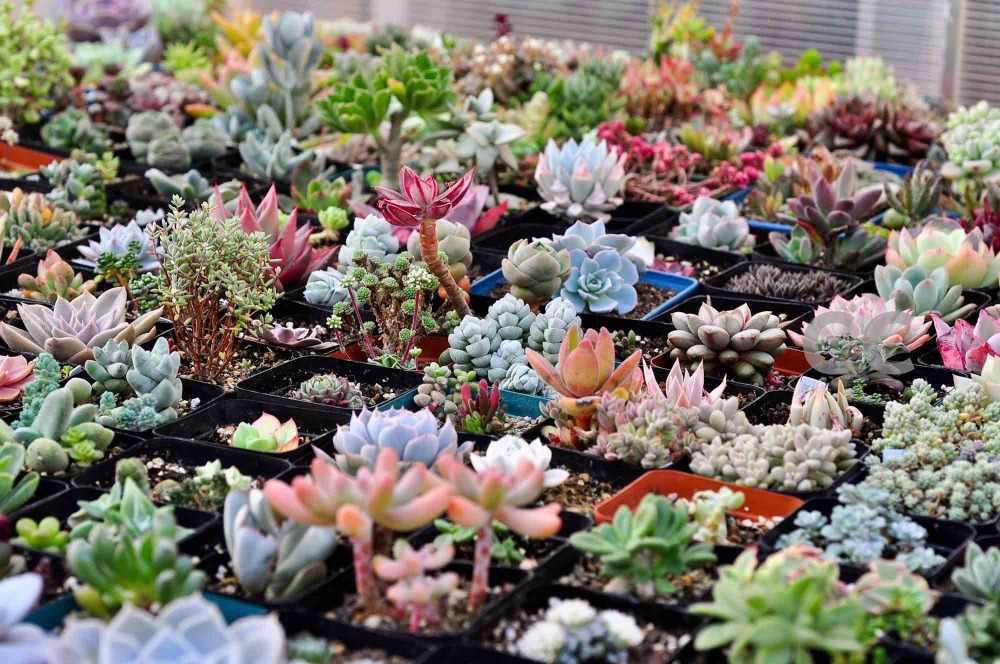 Rare Mix Succulente loto Bonsai per la casa giardino vasi da fiori fioriere 300/pack imballaggio Professionale