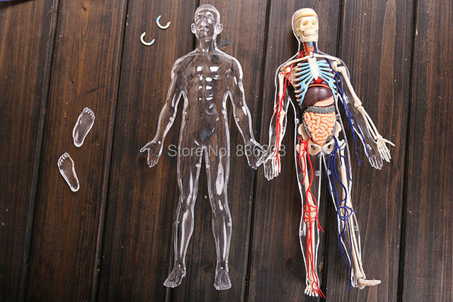 4d Master Vision 13 Transparent Human Body Funny Anatomy Model