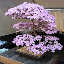 bonsai Japanese Sakura Bonsai Flower Cherry Blossoms Cherry Tree Ornamental Plant 10seeds/pack Home Garden Bonsai(China)