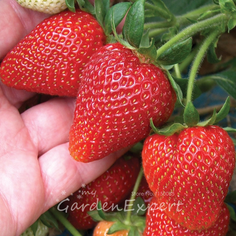 100pcs Potted Stawberry Seeds Strawberry Sweetheart Fruit Bonsai Seeds Red Strawberry Home Garden Plant DIY Free Shipping