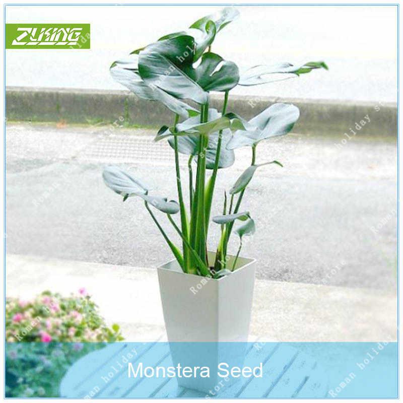 100 Monstera Deliciosa bonsai Potted Plants Novelty Fruit