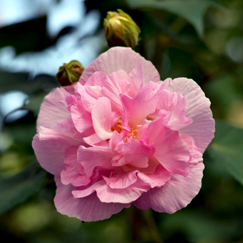 how to grow hibiscus flowers from seeds