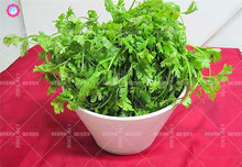 100pcs Chinese organic parsley seeds Real Non-GMO coriander Green vegetable planting for spring farm home garden supplies 95%