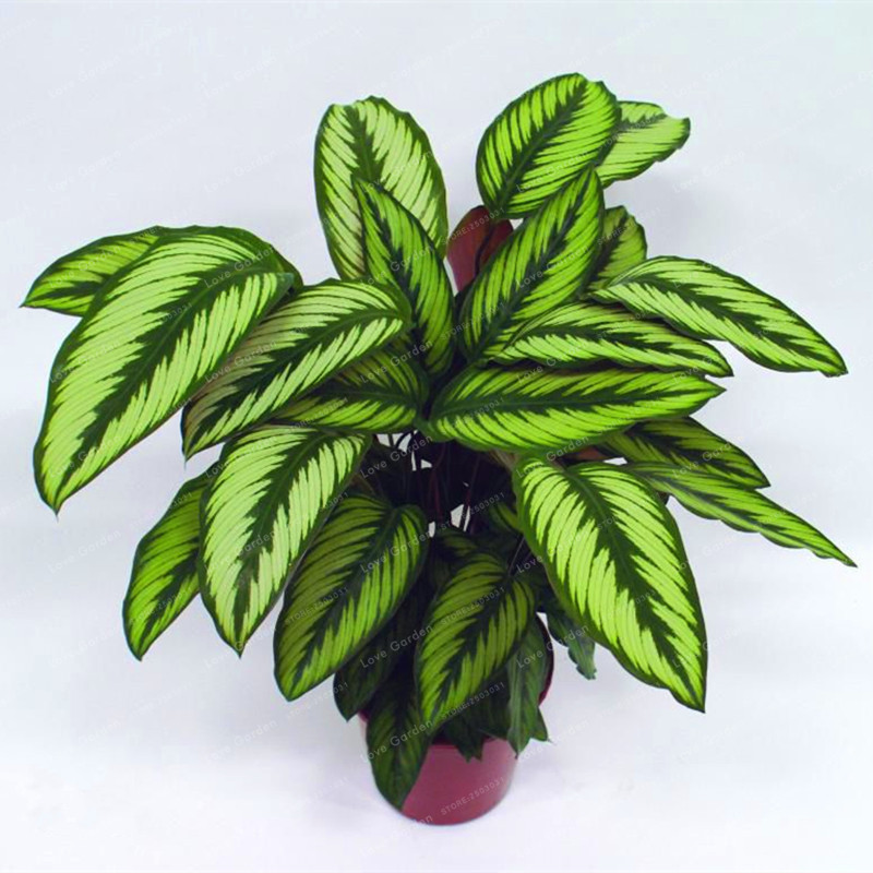 100 pcs calathea seeds foliage plant bonsai pot variety complete the budding rate 95 four. Black Bedroom Furniture Sets. Home Design Ideas