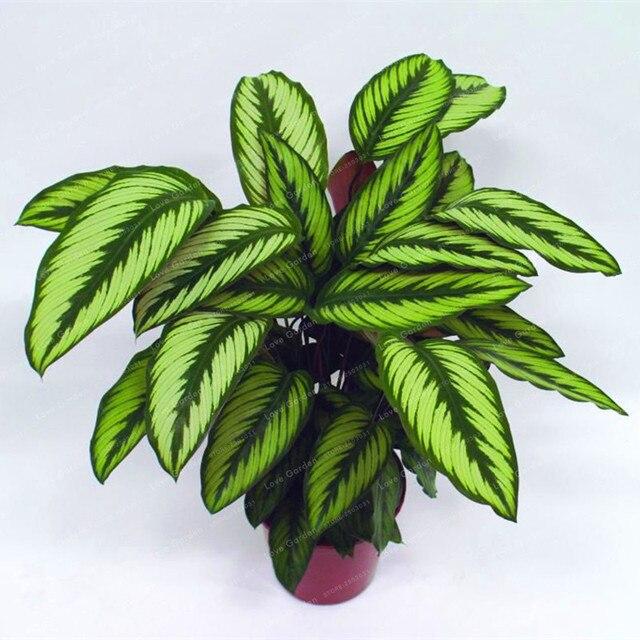 100 piezas Calathea bonsái planta de follaje bonsái variedad de olla completa la tasa de florecimiento 95% cuatro estaciones de plantación fácil de cultivar