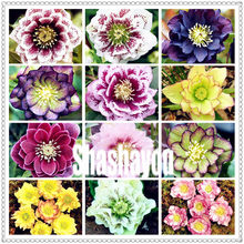 Bunte 100 Pcs Helleborus Bonsai Blume Winter Rose Blume Bonsai Topf Outdoor-Anlage Für Home Garten Broomsedge Lotus Anlage(China)