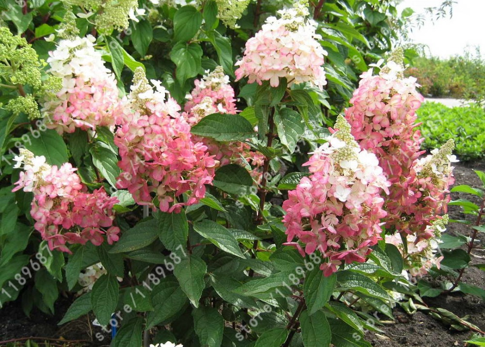 20 pcs bag Hydrangea plants Hydrangea paniculata Vanilla Naturia Hydrangea Macrophylla flower bonsai for Home Garden planting in Bonsai from Home Garden