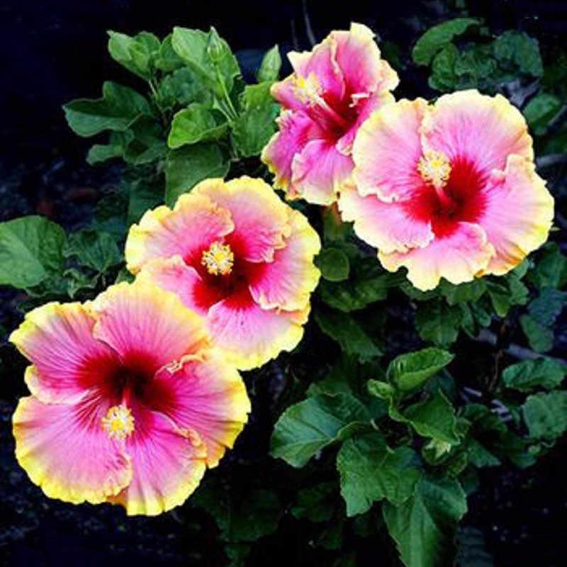 Самые низкие цены! 100 шт Гибискус Роза-Синенсис многолетний цветок завод Бонсай крупные цветки красный зеленый синий пурпурный китайский розовый завод