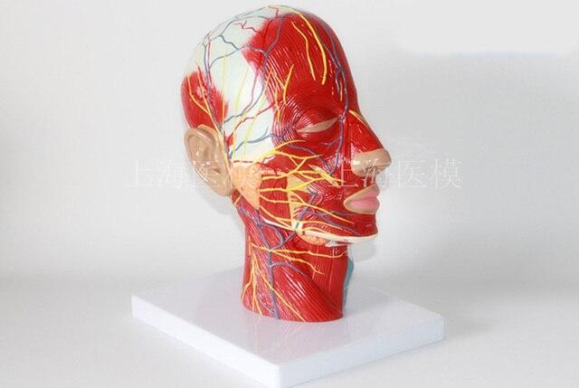 Kopf sagittal abschnitt modell kopf und hals blutgefäße und nerven ...