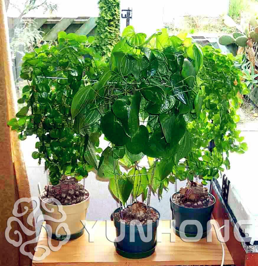 New Arrival Home Garden Succulent Plant 1pcs Elephant S Foot Dioscorea Elephantipes Bonsai Free Shipping