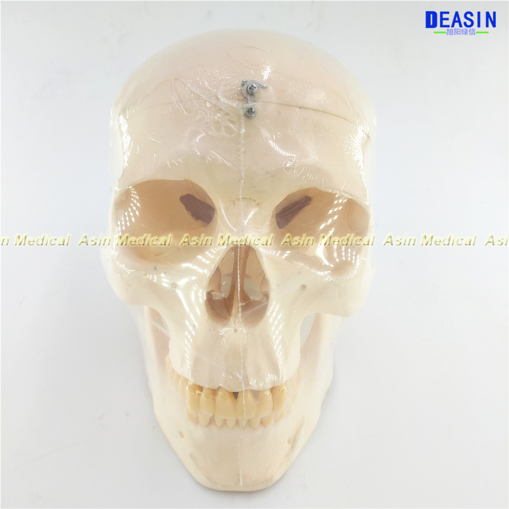 1 Set human brain skeleton anatomical EXPLODED SKULL MODEL skeleton microscope with denture teeth in trauma organizadores