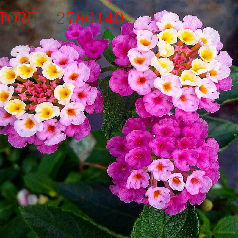 20 pcslot lantana camara flower seeds rare perennial herb gorgeous 20 pcslot lantana camara flower seeds rare perennial herb gorgeous i tree plant for home garden potted ornamental seed in bonsai from home garden on mightylinksfo