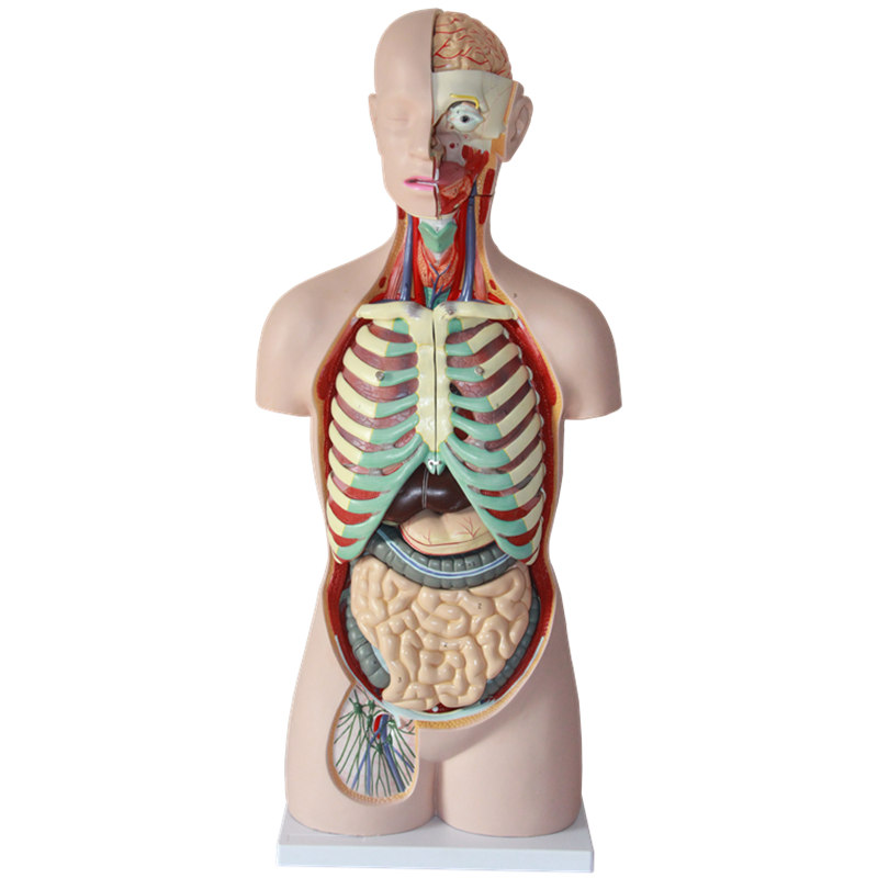HeyModel 85cm Human body torso model with 17 different parts on display rovertime rovertime rtm 85