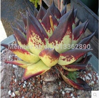 Ebony Flower 37