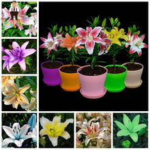 Rare Blue Perfume Lily Plant Seeds Potted Bonsai Plant Mixed Import Heart Lily Flowers Seeds For Home Garden 100 Pcs/ Lot(China)