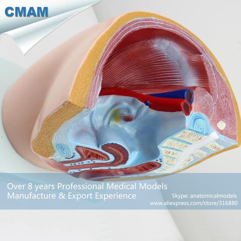CMAM-ANATOMY26 Human Female Pelvic Cross-Section Anatomical Model,  Medical Science Educational Teaching Anatomical Models human female pelvic section anatomical model medical anatomy on the base