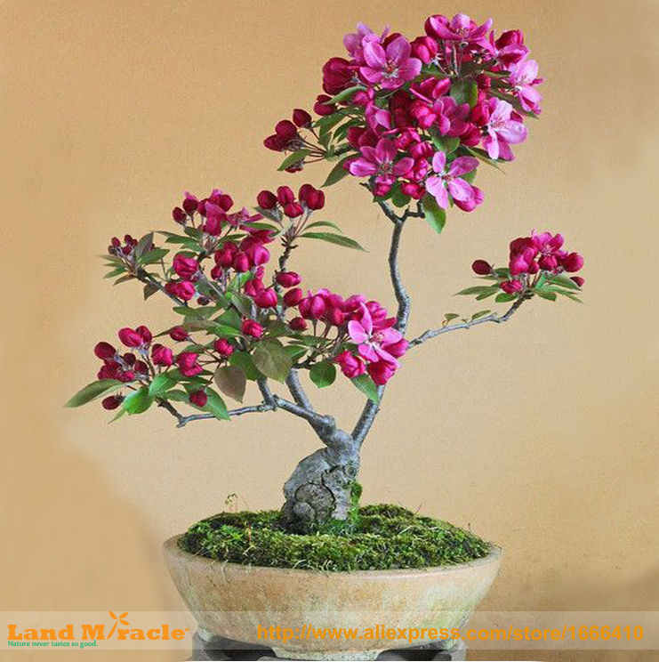 20 Seeds / Pack, Dark Red Apple Flowering Plant Bonsai Tree Seed for Home Garden Flower Tree Planter!