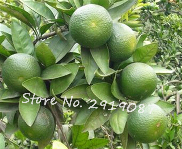 Online Get Cheap Indoor Citrus -Aliexpress.com   Alibaba Group
