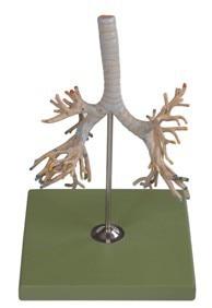 Albero bronchiale modello umano tracheale bronchiale modello di albero di sinistra e destra principale bronchi polmonari lobo bronchiAlbero bronchiale modello umano tracheale bronchiale modello di albero di sinistra e destra principale bronchi polmonari lobo bronchi