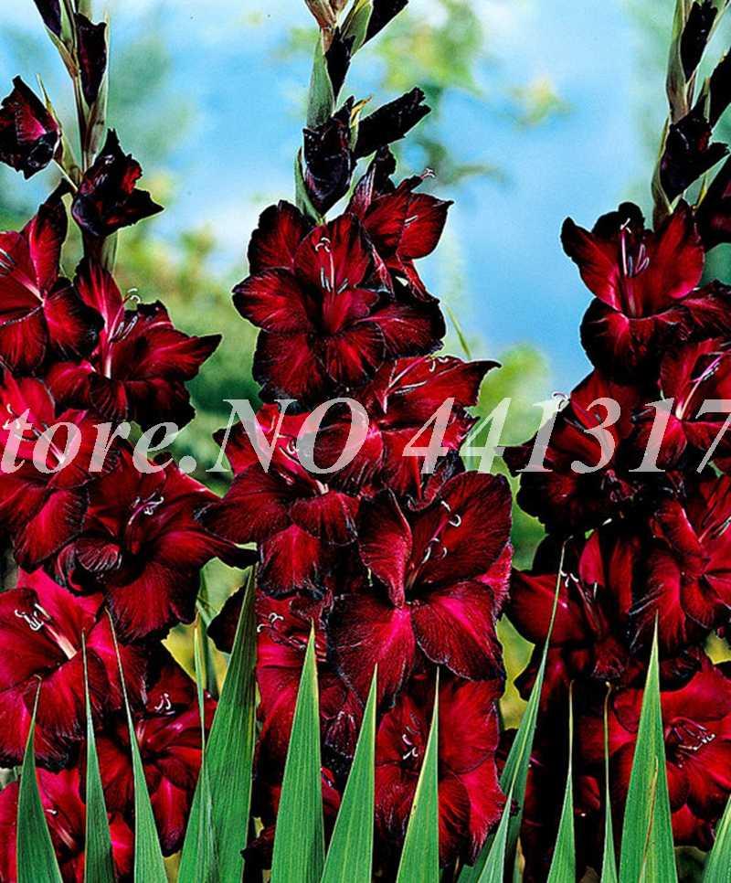 100 шт Редкие полосатые гладиолус садовые растения цветы орхидеи гладиолус Бонсай завод гандавенсис высокая скорость выживания