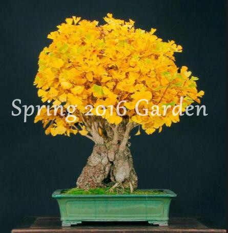 Bonsai 5 części/partia Ginkgo Biloba Bonsai rośliny, balkon doniczkowe, piękne liście sezon sadzenia, kiełkowanie 96% drzew owocowych