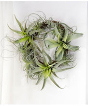 Airplant bulbosa algodão doce polvo Do Bebê falso artificial Tillandsia Capitata Steptophylla usneoid como real planta suculenta(China)