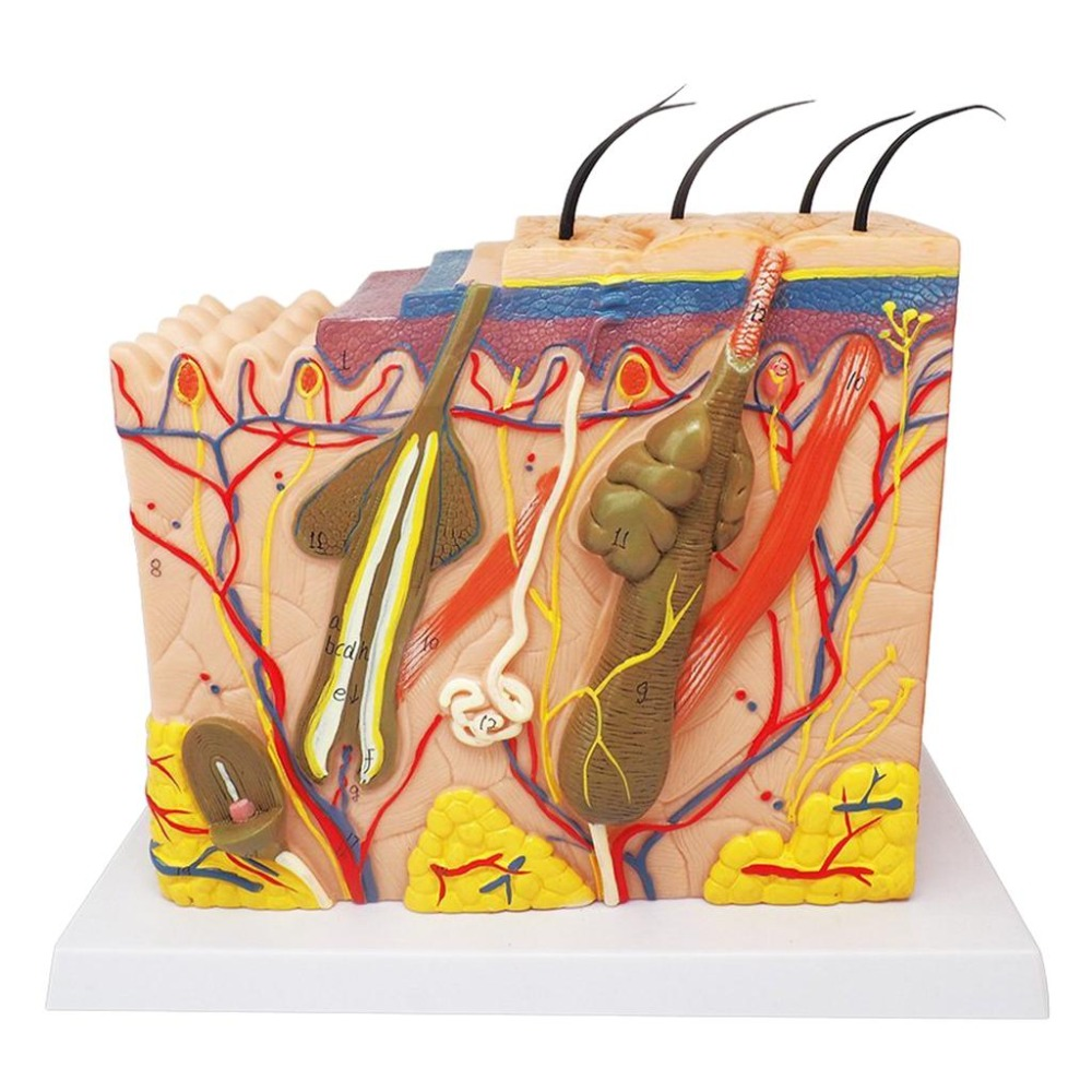 Modelo de pele humana bloco ampliado estrutura de camada de cabelo plástico anatomia anatômica ferramenta de ensino médico