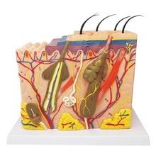 Estrutura da pele modelo de pele humana bloco ampliado camada de cabelo plástico estrutura anatomia anatômica ferramenta de ensino médico