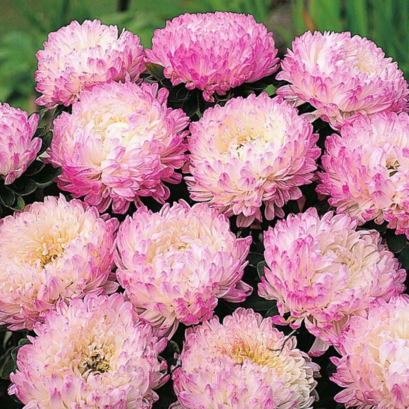 light pink chinese aster flower seeds so fragrant garden flower, Beautiful flower