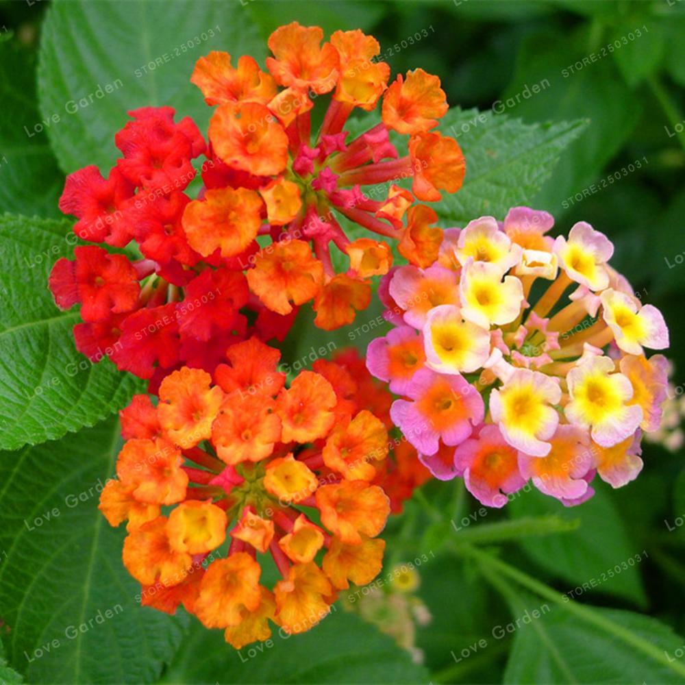 20 Pcslot Lantana Camara Flower Bonsai Rare Perennial Herb Gorgeous