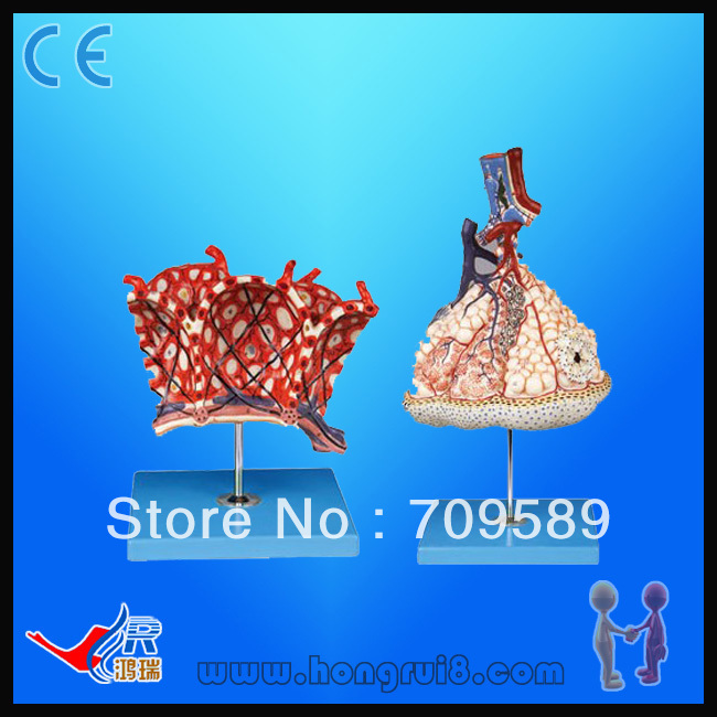 Advanced anatomical model, Lobule and Alveolus of Lung human anatomical male genital urinary pelvic system dissect medical organ model school hospital