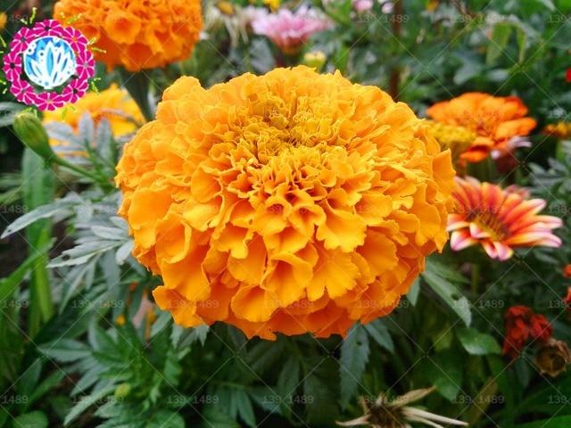 50pcs french marigold flower seeds ornamental beautiful garden 50pcs french marigold flower seeds ornamental beautiful garden ornamental plant for home garden diy home bonsai mightylinksfo