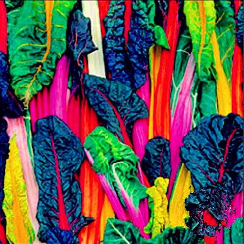 500 шт./лот Большая акция! Пять цветов Швейцарский Чард Серебряная свекла быстро растет, съедобные растения, овощи Бонсай