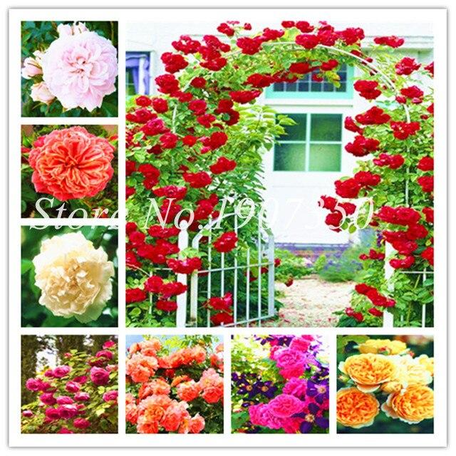 Comprar árbol Rosa chino Semente 100 piezas escalada Rosa Bonsai árbol planta flor salvaje Rosa mezcla colores belleza tu hogar jardín