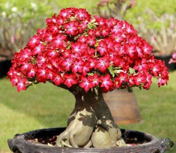 2 pz/borsa Rare Colore Desert Rose Bonsai Fiore Pianta DA Giardino FAI DA TE Decorazione Adenium Obesum In Vaso Facile da Coltivazione di Piante