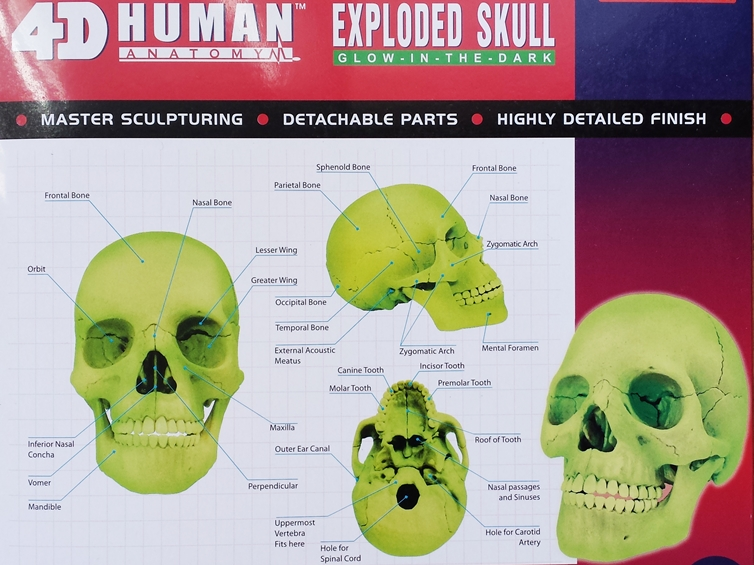 4D master Human Head Anatomy Medical Colorful Didactic Exploded ...