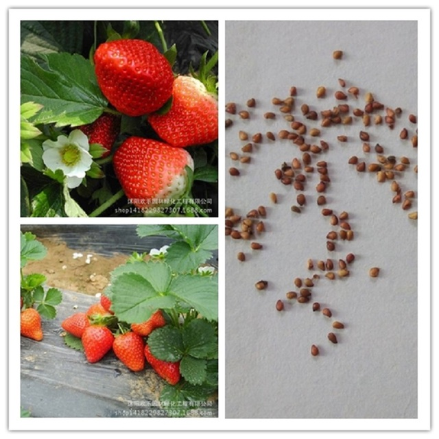 high-quality seed strawberry fruit when the results of the four seasons 100 Seeds/Pack
