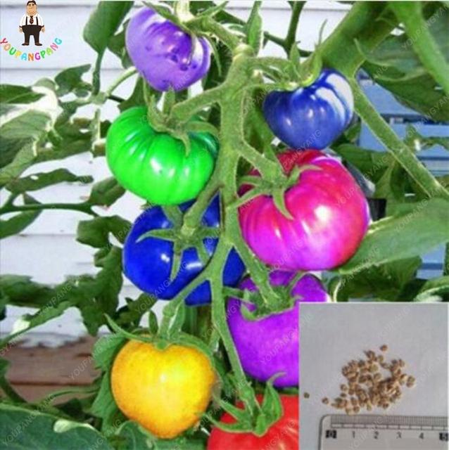 100pcs Rare Rainbow Tomato plants Ornamental Potted Organic Vegetable Fruit plants Rare Beautiful Home Garden Bonsai