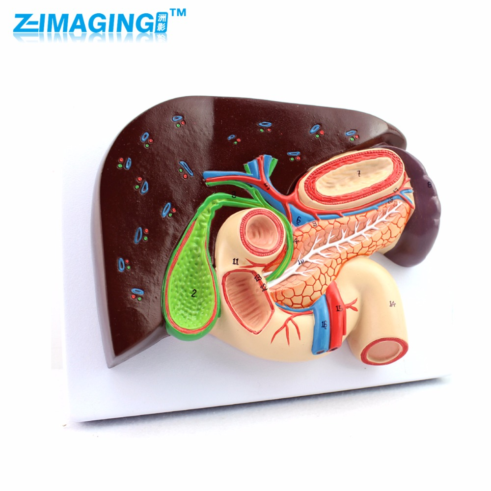 Human hepatobiliary and pancreatic duodenogastric structural model digestive medicine Whipple model hepatobiliary pancreatic twelve intestines section structural model of gastric gastroenterology medical whipple gasen xh001