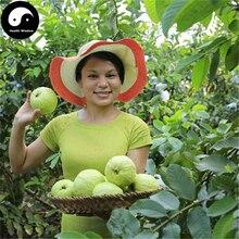 Buy Real Guava Fruit Tree Seeds 240pcs Plant Fruit Psidium Guajava Grow Fan Shi Liu недорго, оригинальная цена