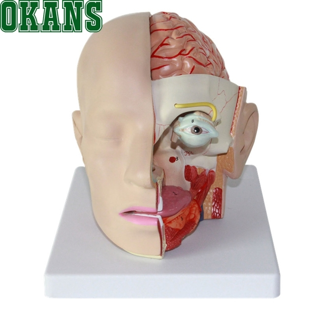 11 Human Head Anatomical Model Brain Model 4 Parts Brain Model Oral