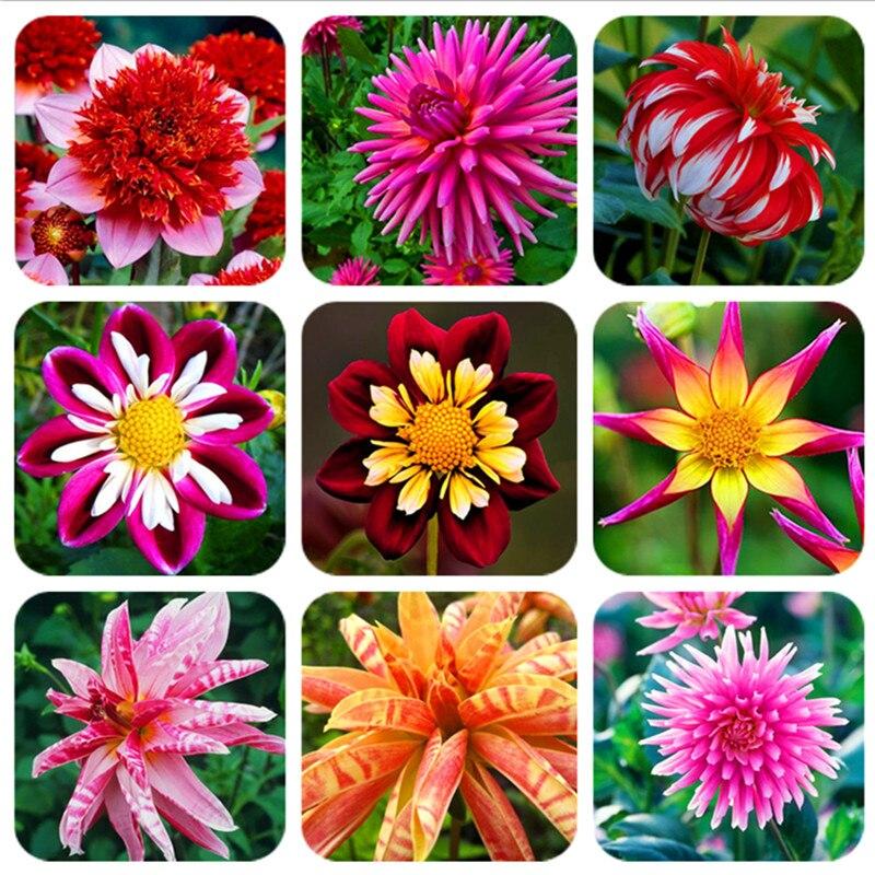 100 pcs dahlia flower beautiful gardens bonsai plant gorgeous flowers tropical ornamental plants