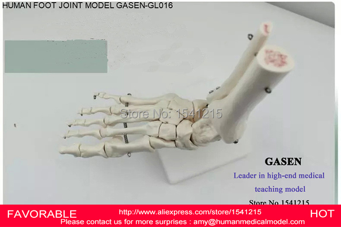 FOOT JOINT MODEL,SKELETON OF LOWER LIMB (RIGHT OR LEFT) TIBIA + FIBULA + FOOT SKELETON,SIZE OF THE NORMAL FOOT BONES-GASEN-GL016 new 2pcs female right left vivid foot mannequin jewerly display model art sketch