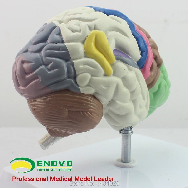 ENOVO The brain model of brain function in the brain function of human. brain get smart our amazing brain