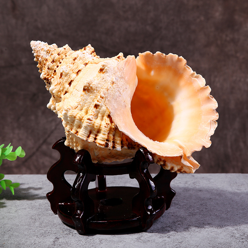 Manufacturers Direct Sales Of Natural Seashells Large Frog Snail Furnishing Decorative Crafts Accessories Aquarium Micro Landsca