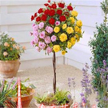 100 rare rose tree seeds Chinese rose seeds, color bonsai tree roses seed, plant seeds
