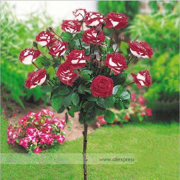 100 samen/Pack Neue Hybrid Vielzahl Weiß Rot Rose Baum Blumensamen ...