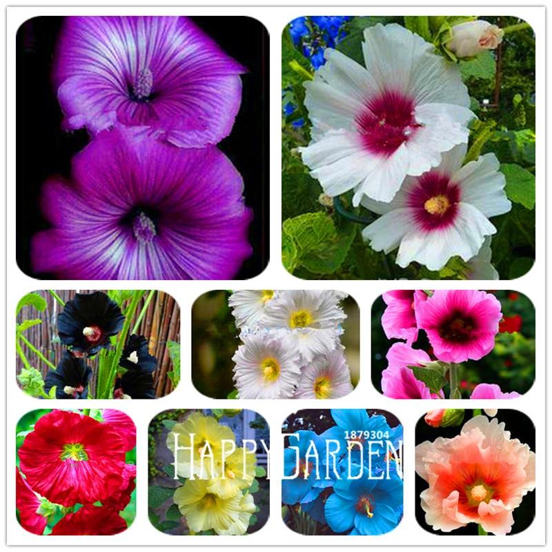 100Pcs Calla Lily Fleurs Graines 24 types belle Bonsai vivace Chambre Fleurs