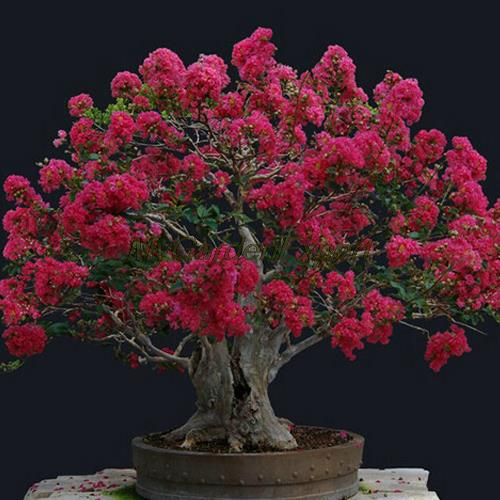100pcs Red Crape Myrtle Seeds Crape Myrtle Flower Seeds Bonsai Seeds Easy Pot Plant Home Garden Free Shipping
